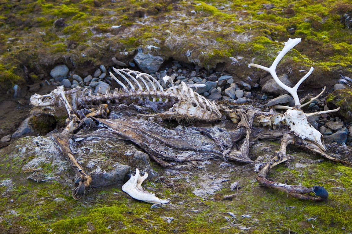 reindeer remains
